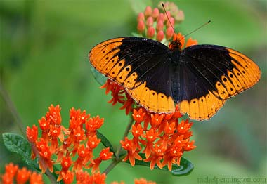 Diana Fritillary Butterfly State Butterfly State Symbols Usa