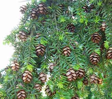 Washington state tree western hemlock photo of western hemlock foliage and cones by menchi wikipedia published under terms of gnu free documentation license version 12 or later sciox Choice Image