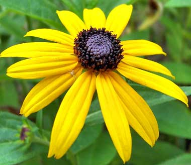 Maryland State Flower BlackEyed Susan - Marriland state