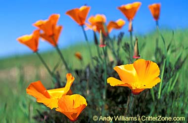 California State Flower California Poppy
