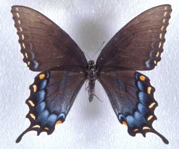 Delaware State Butterfly | Tiger Swallowtail Butterfly
