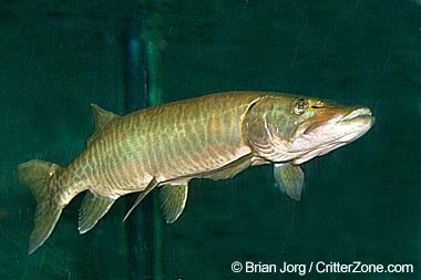 Wisconsin state fish muskellunge for Muskie fish pictures