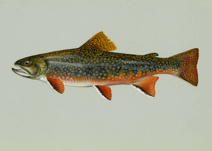 Southern appalachian brook trout state freshwater fish for Vermont state fish