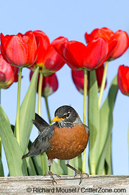 Connecticut State Bird | American Robin