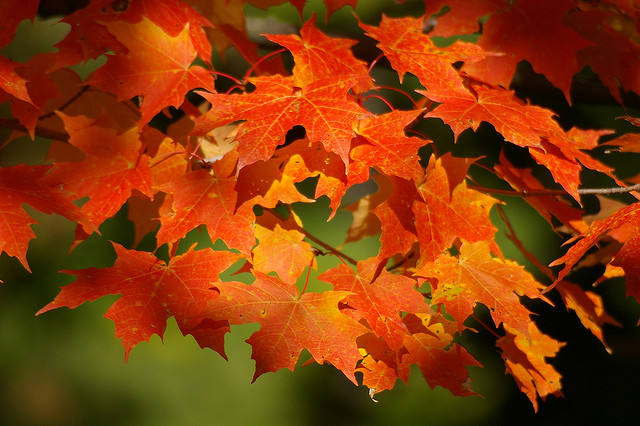 Best Maple Trees for Fall Color - The Spruce