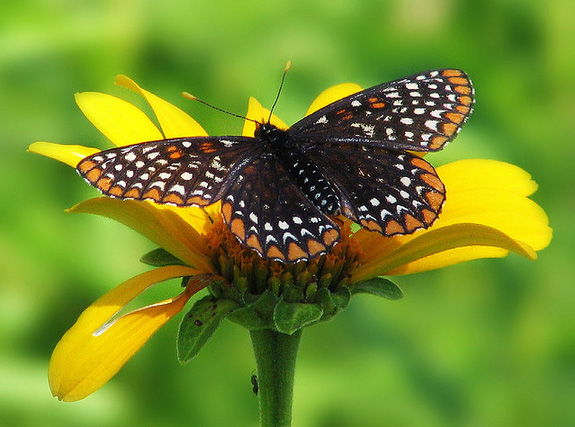 Maryland State Insect Baltimore Checkerspot Butterfly