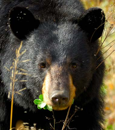 Black bear population continues to grow in northeast Alabama