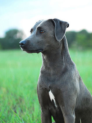 Texas State Dog Breed Blue Lacy