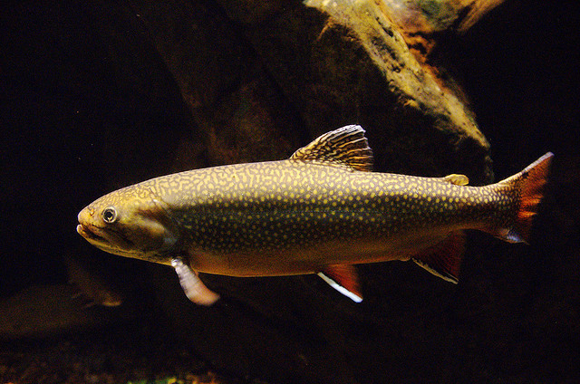 New jersey state fish brook trout for Vermont state fish