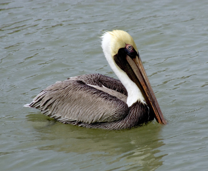 State Bird Of Louisiana Brown Pelican - Florida state bird and flower and tree