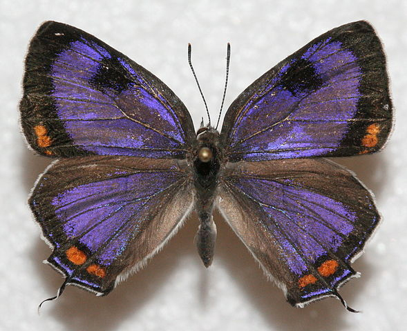 Colorado State Insect Colorado Hairstreak Butterfly