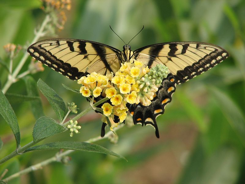 Tiger Butterfly Pictures Tiger Swallowtail Butterfly