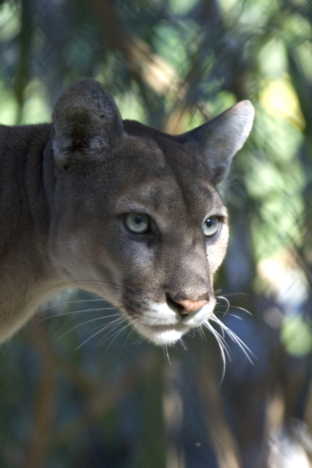Florida State Animal Florida Panther