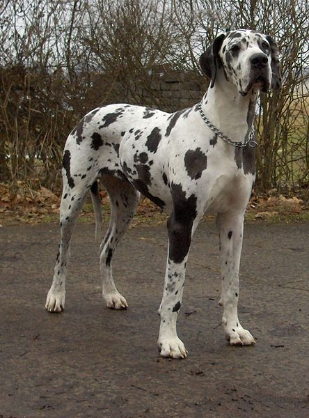 Harlequin great dane photo by dogge odin on wikipedia use permitted