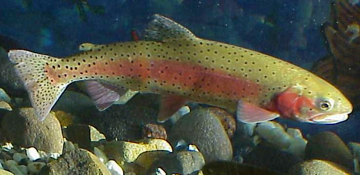 Nevada state fish lahontan cutthroat trout for Trout fish pictures