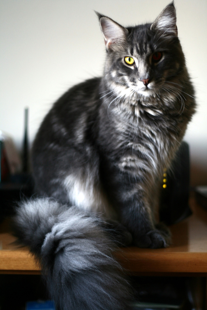 Maine Coon Cats For Sale Texas