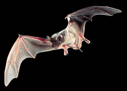 Texas State Flying Mammal | Mexican Free-Tailed Bat