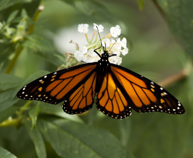 Texas State Insect Monarch Butterfly