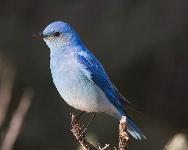 Nevada State Bird Mountain Bluebird