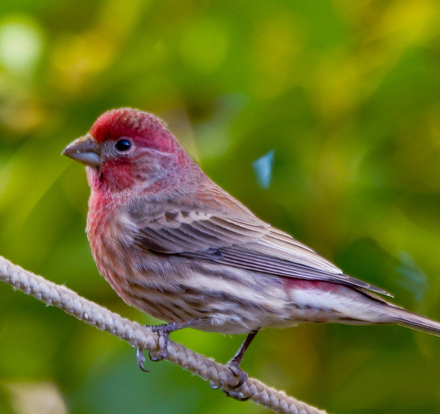 Purple Finch State Symbols USA - Florida state bird and flower and tree
