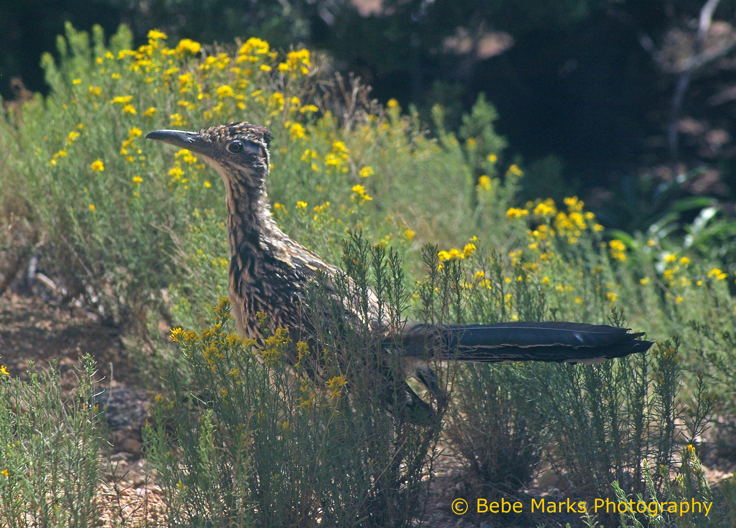 Symbols of new mexico state symbols usa greater roadrunner buycottarizona