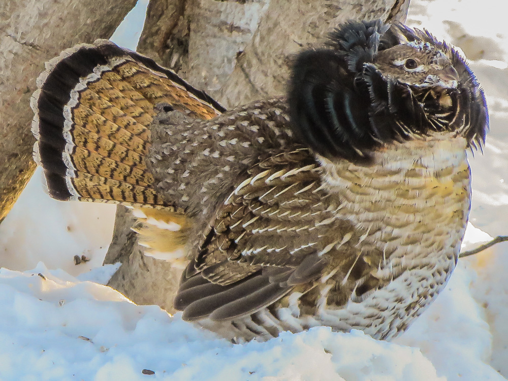 ruffed grouse displaying for a hen