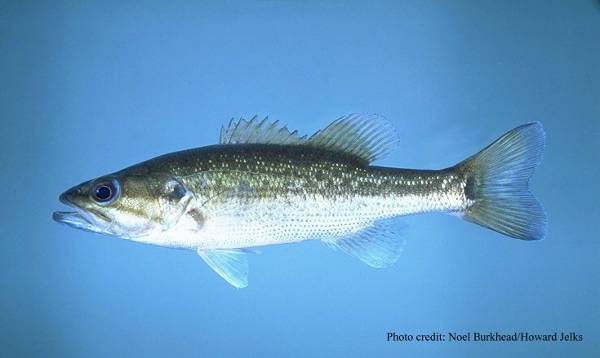Kentucky spotted bass state fish state symbols usa for Kentucky fish and game