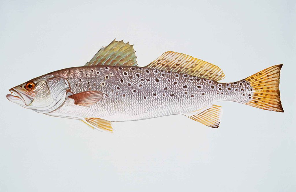 Spotted sea trout state saltwater fish state symbols usa for Maine state fish