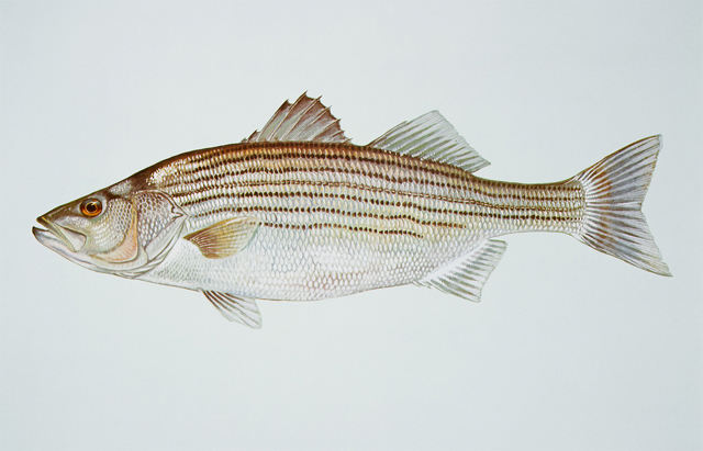 how to catch freshwater striped bass