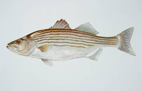 maryland state fish rockfish striped bass