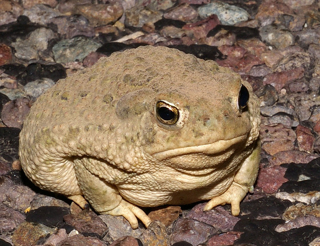 Texas State Amphibian Texas Toad