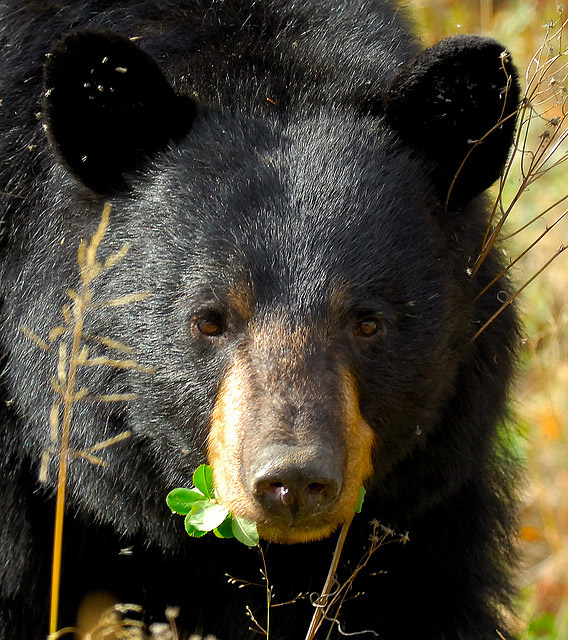 New Mexico State Animal Black Bear