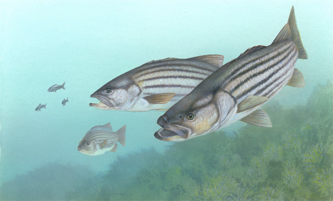 Striped bass state fish state symbols usa for Fishing in south carolina