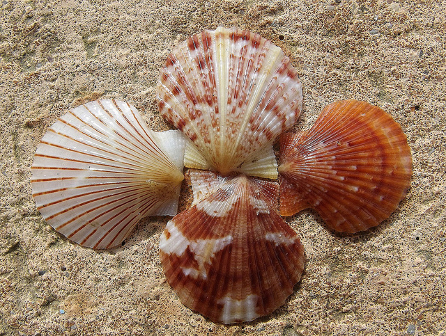 New York State Shell Bay Scallop