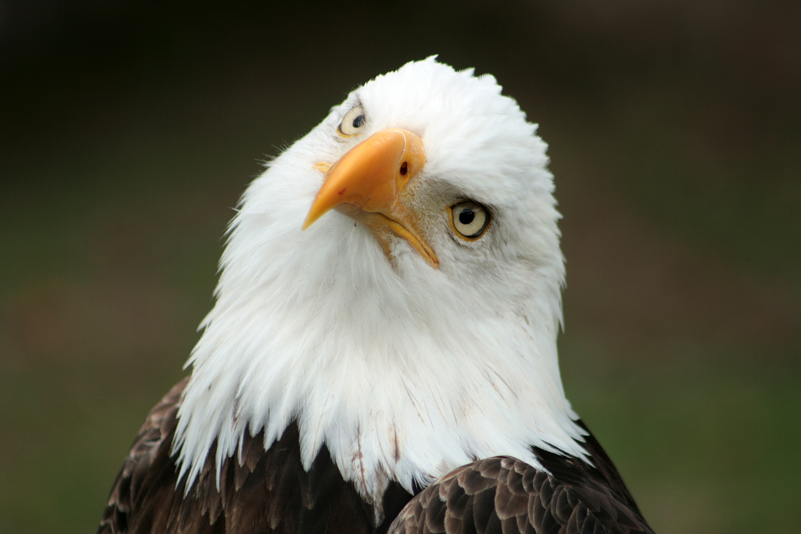 Bald Eagle National Bird