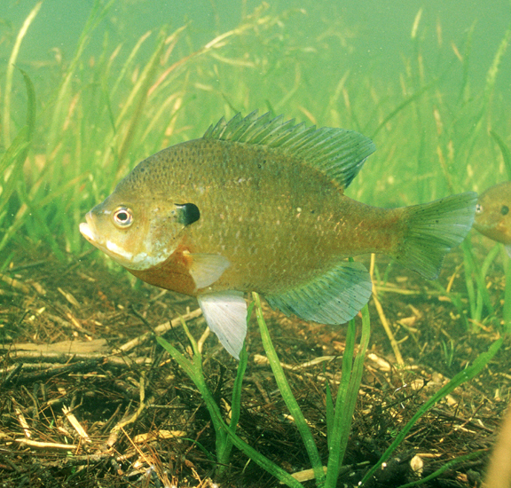 Illinois state fish bluegill for Blue gill fishing