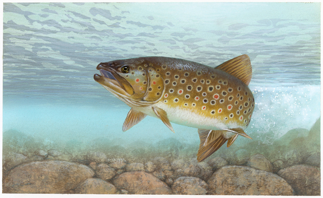 new york state freshwater fish brook trout