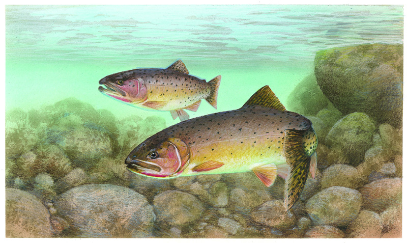 Blackspotted cutthroat trout state fish state symbols usa for Ohio state fish