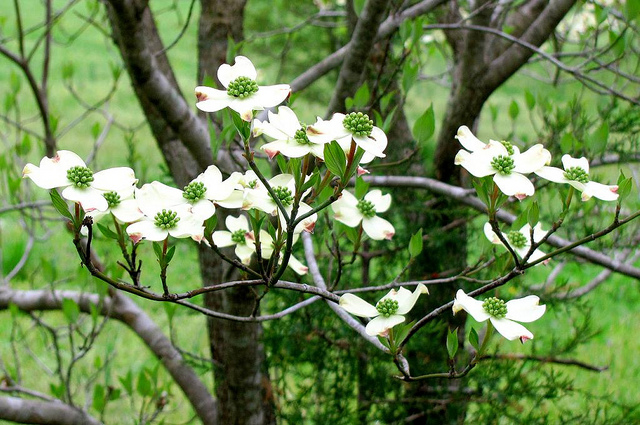 New Jersey State Memorial Tree Dogwood