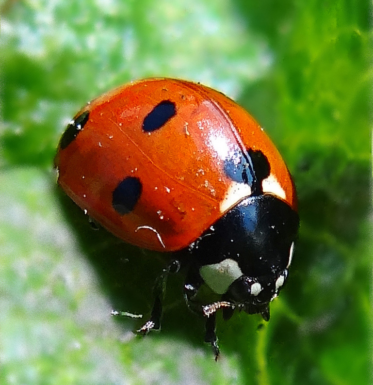 Tennessee State Insect Ladybug