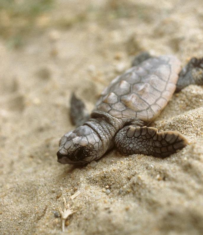 Loggerhead Sea Turtle State Symbols Usa