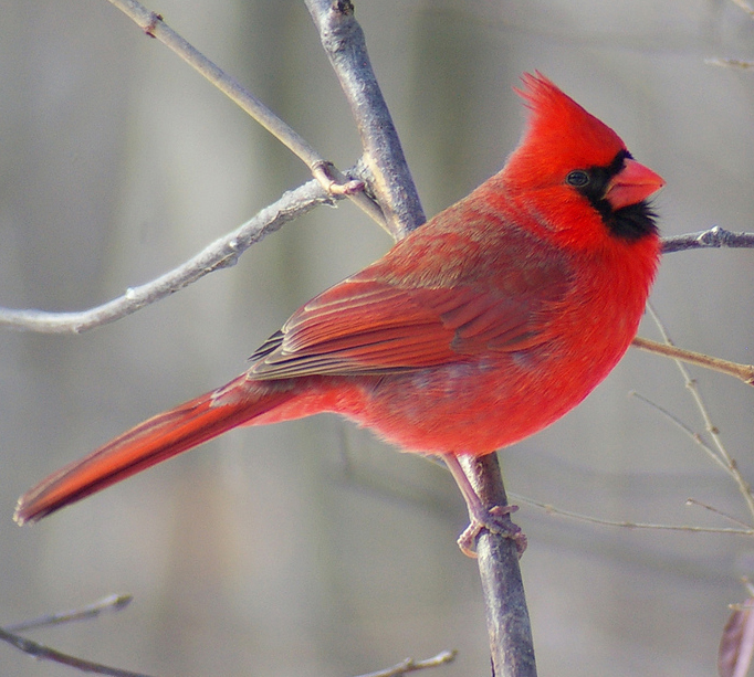 Illinois State Bird Northern Cardinal