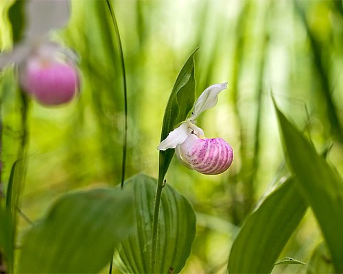 Minnesota state flower pink white lady slipper ladys slipper cypripedium reginae mightylinksfo