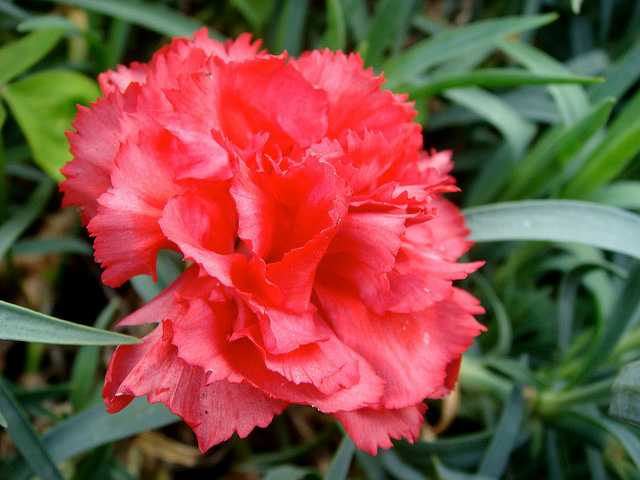 Ohio State Flower Red Carnation