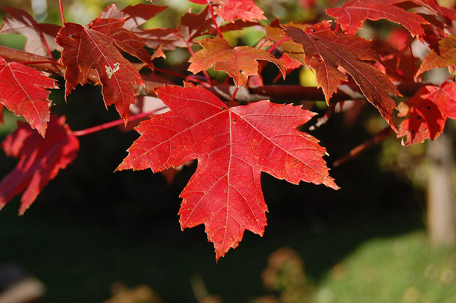 Rhode Island State Tree Red Maple