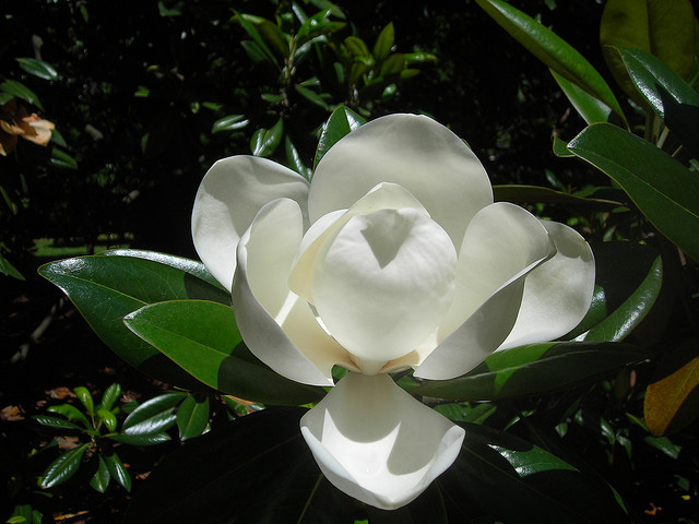 Image result for magnolia tree
