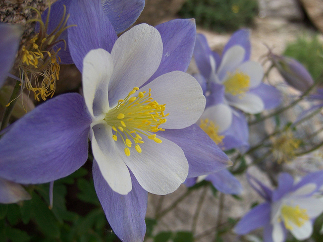 White And Lavender Rocky Mountain Columbines Symbol Of Colorado