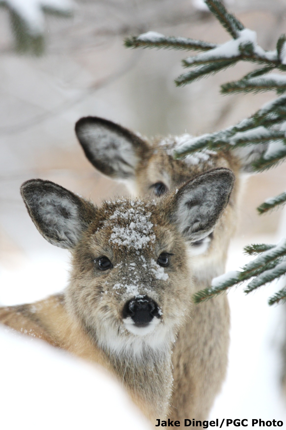 White tailed deer state symbols usa white tailed deer in the snow buycottarizona Choice Image