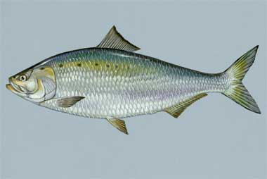American shad state fish state symbols usa for Ct fish and game