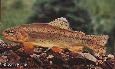 official state fish of arizona